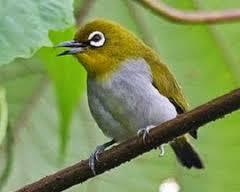 mengenal pleci auriventer kicau burung mania