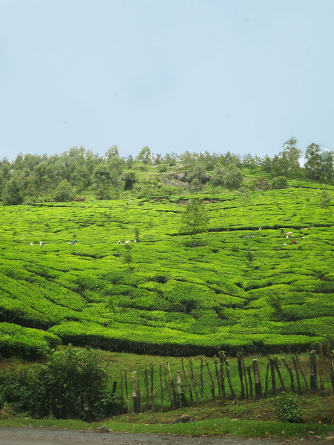 Kerela India tea plantation