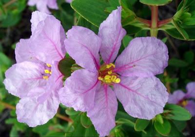 Flor do Cerrado Lythraceae- Diplusodon sp - foto de jcpat100