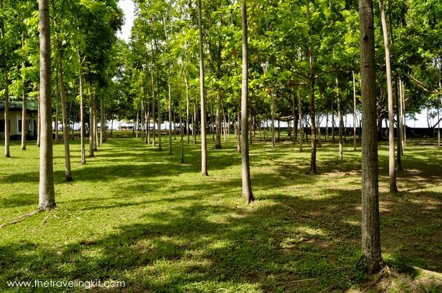 Lines of mahogany trees at Marihatag Tree Park and Resort