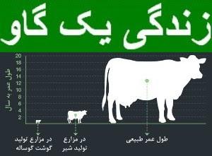 زندگی یک گاو شیری