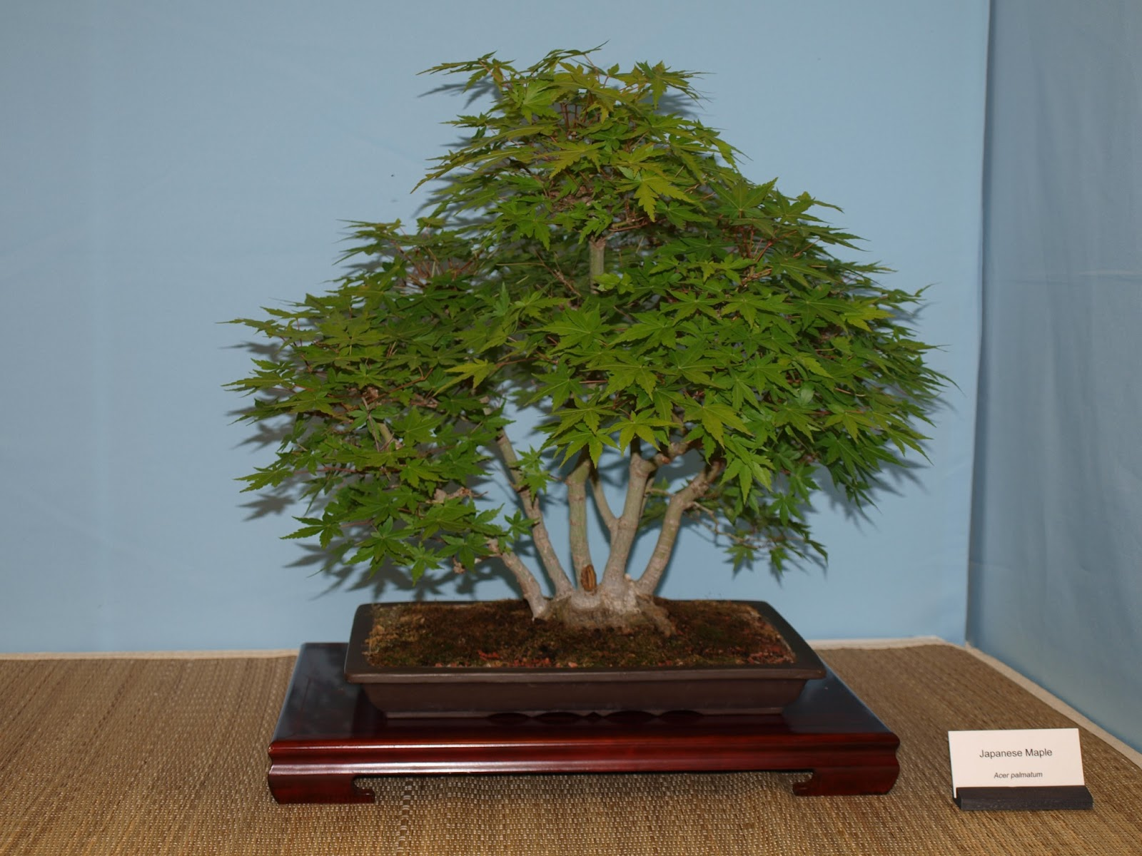 A Life Inspired By Nature Austin Bonsai Show