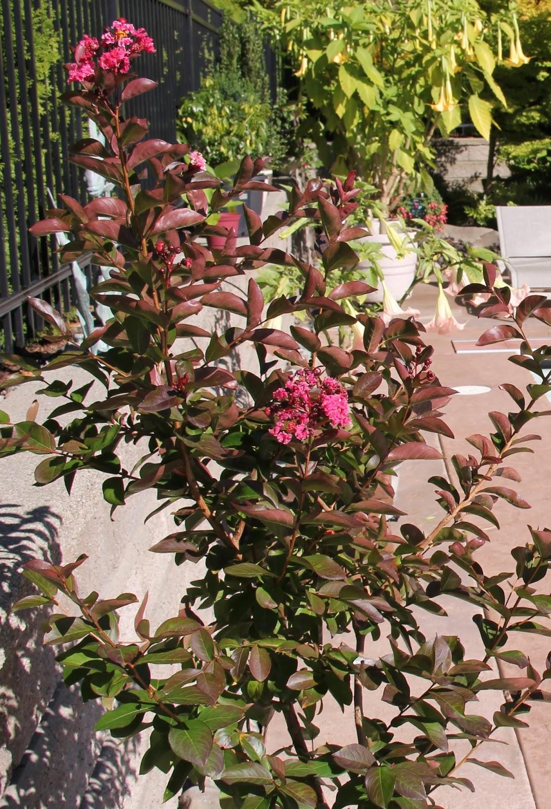 Debbie Angel\'s Garden: Lagerstroemia indica - Petite Orchid Crape Myrtle