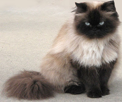 Himalayan persian cat sale