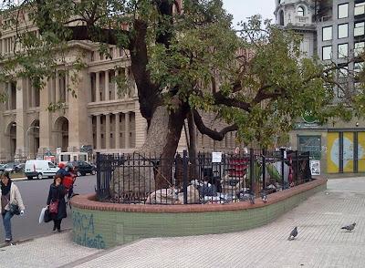 Arboles históricos de la Ciudad de Buenos Aires. Ceibo de Jujuy, Plaza Lavalle