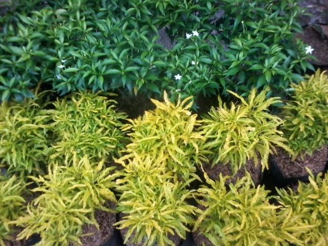 Arya Flower Jual Tanaman Brokoli Hijau
