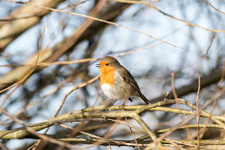 Inspiration Lacking - European Robin