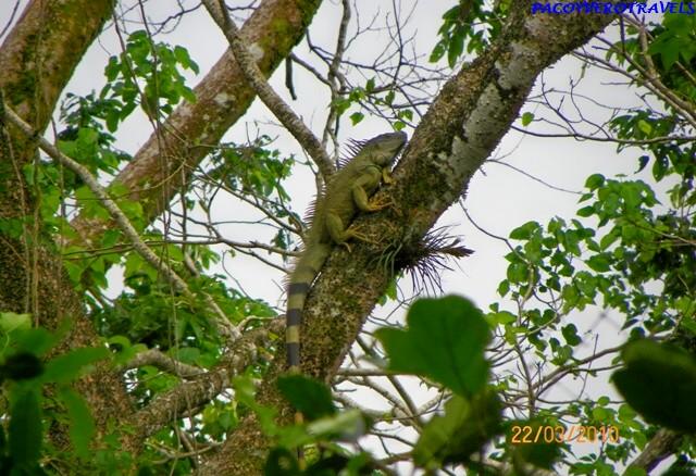Iguana tomando el sol en Cahuita