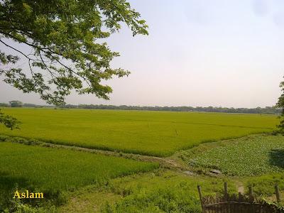 Green field Bangladesh