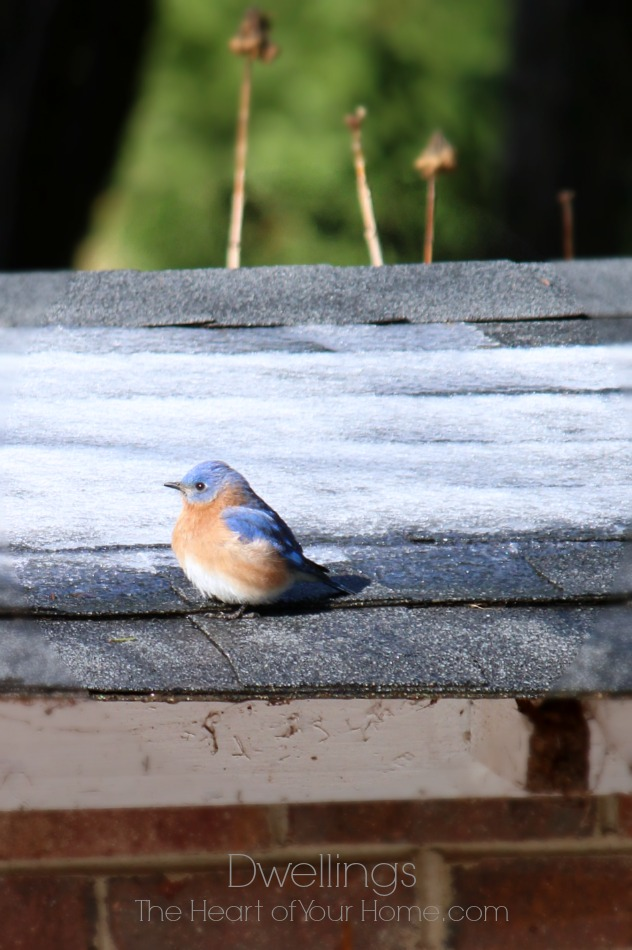 bluebirds on the well house