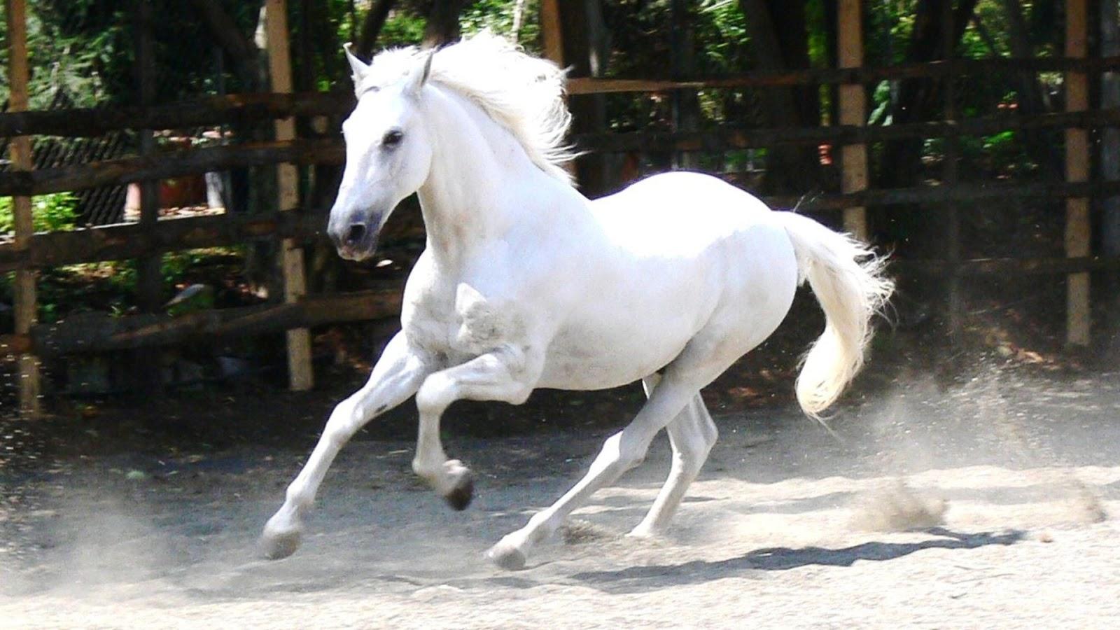 Beautiful white horse hd wallpaper semua wallpaper hd for Beautiful horses