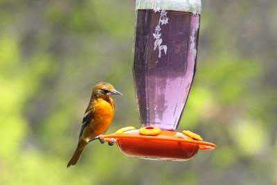 female oriole at feeder