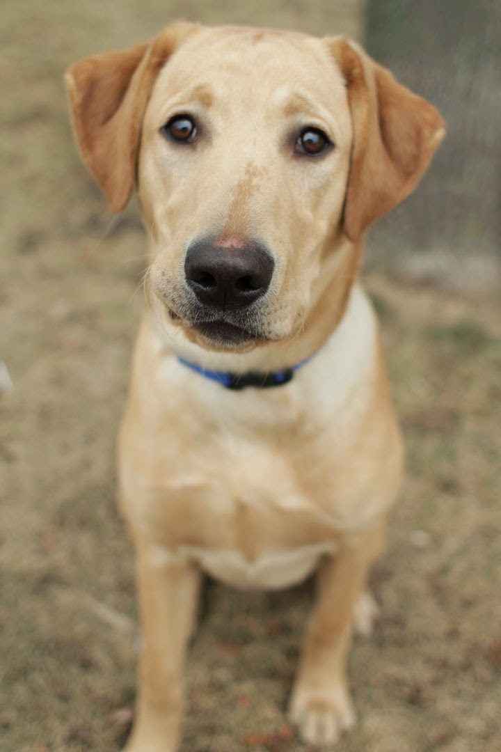 Lanny - Yellow Labrador mix