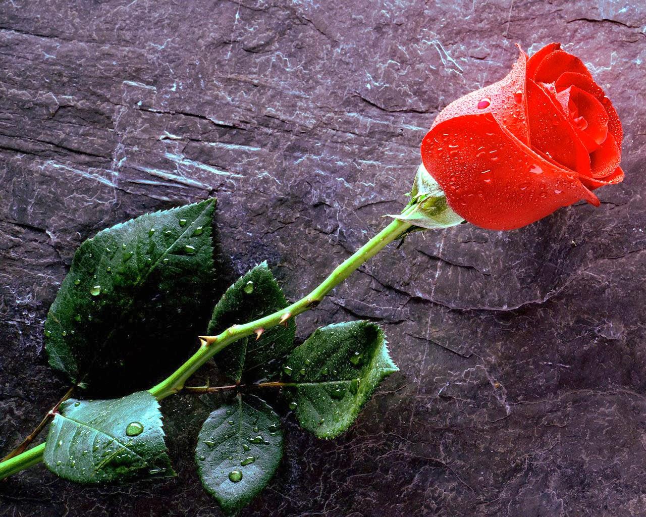 Setangkai Bunga Mawar Indah Nan Cantik