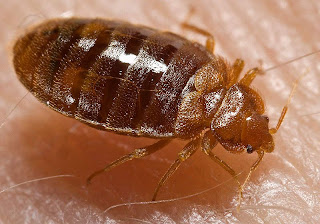 bed bug, seattle bed bug, pest control seattle