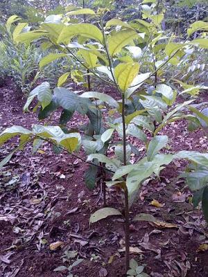 Bibit pohon pala