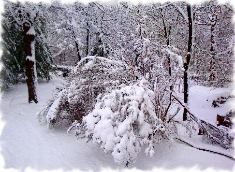 heavy snow buried lilac photo image