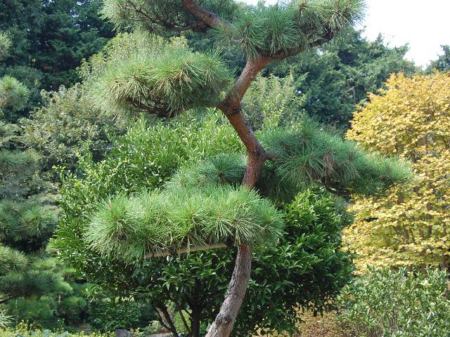 pinheiro vermelho no jardim japonês