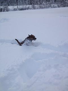 Border Terrier Charly rennt durch Neuschnee