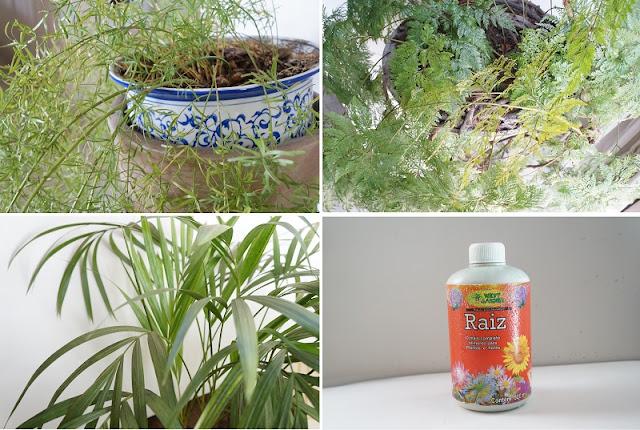 plantas: aspargo, renda portuguesa e palmeirinha. também na imagem o fortificante para plantas. blog Carina Pedro