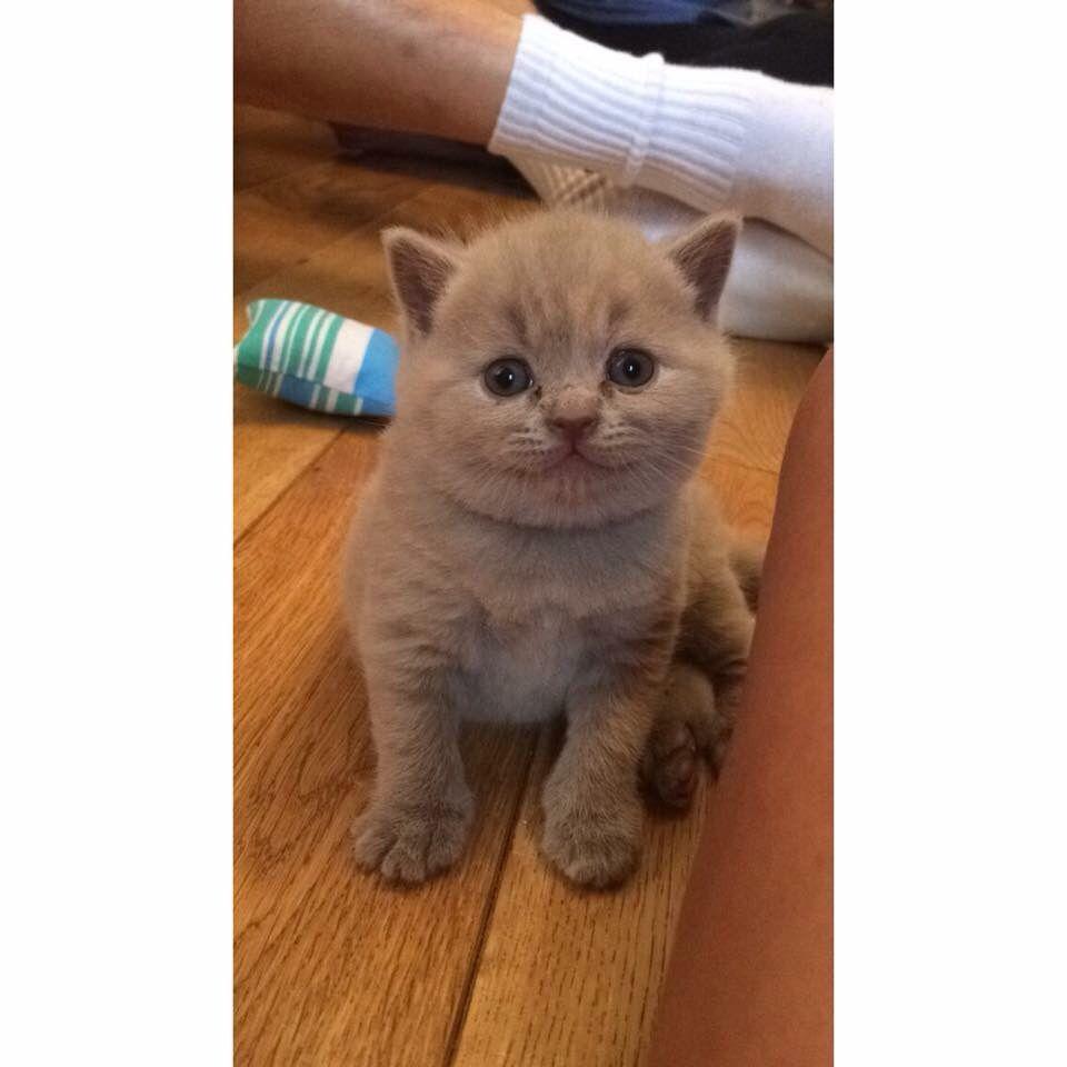 British shorthair kittens for sale 2015