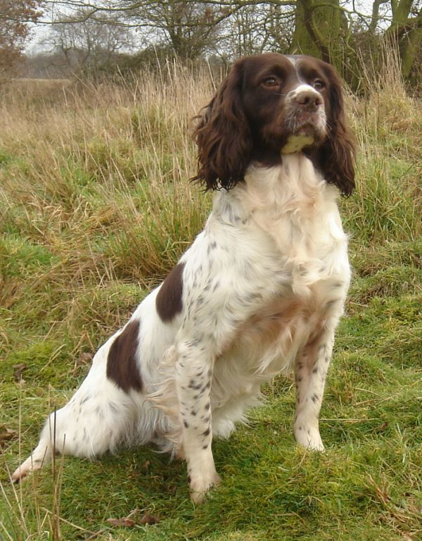 English Springer Spaniel Hunting Dogs For Sale