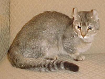 Gambar Kucing Jaguarundi Curl