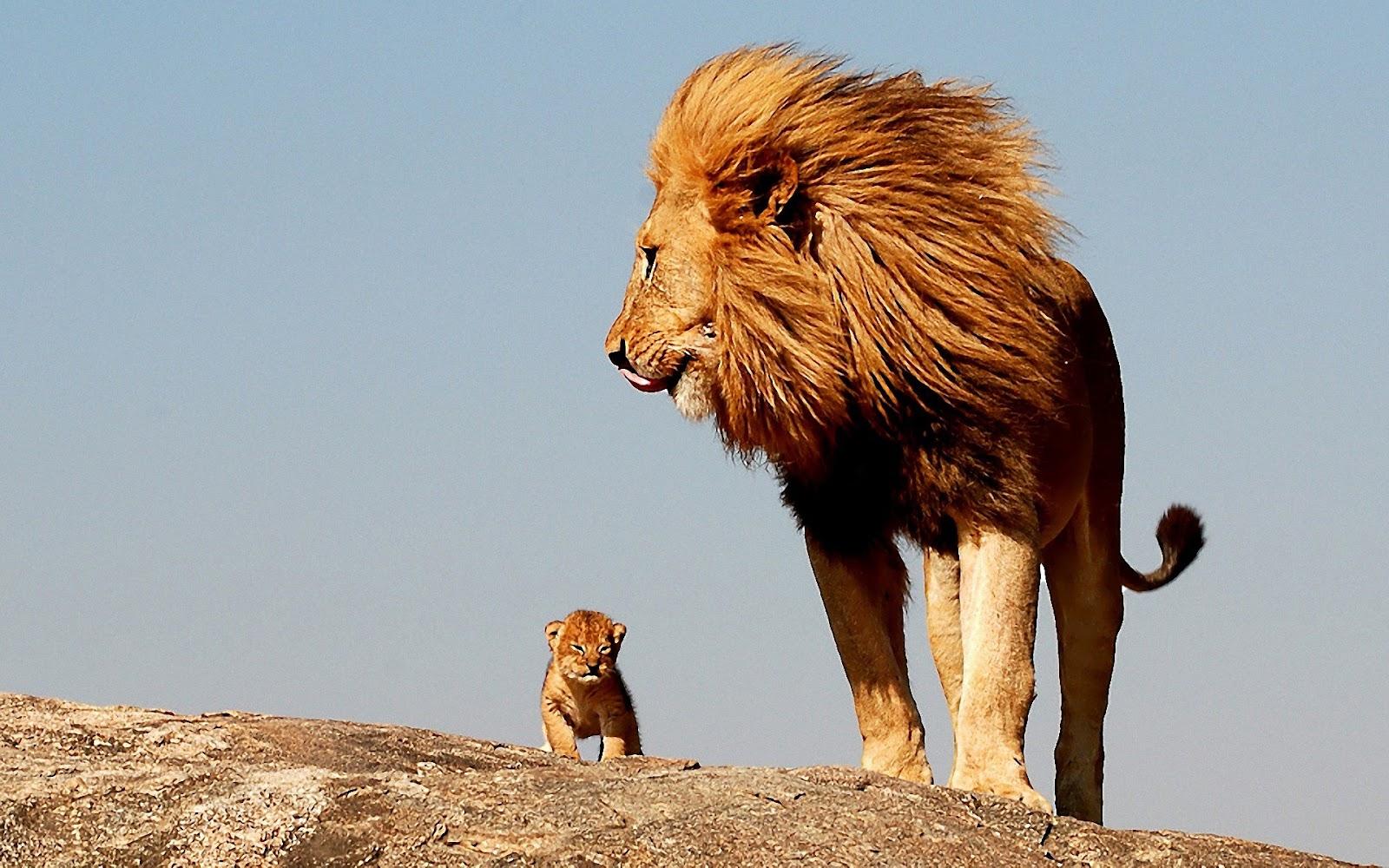 Lion Hd Wallpapers Lion Hd Wallpapers Album On Imgur Lion Hd