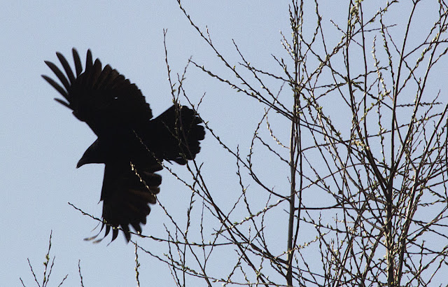 Carrion Crow, Corvus corone corone.  Bird walk in Jubilee Country Park, 24 March 2012.