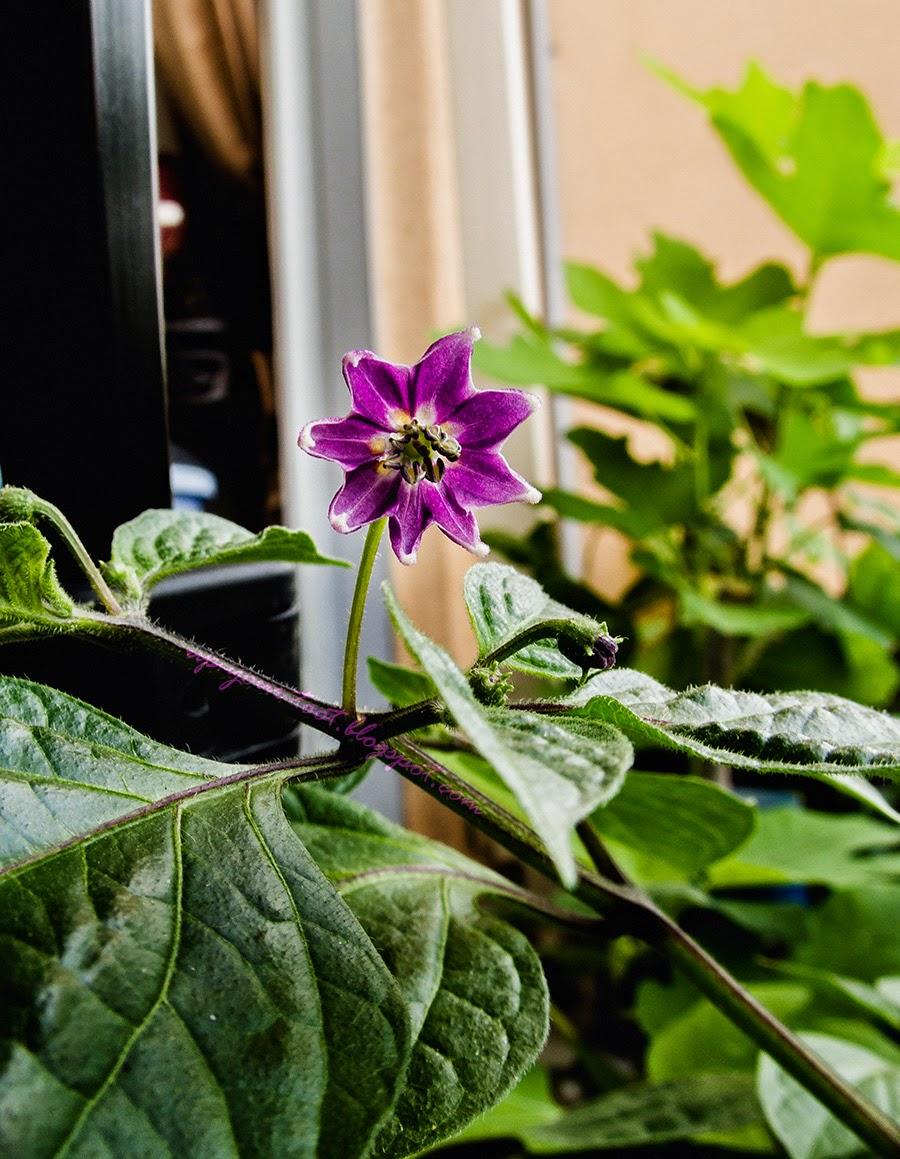Capsicum pubescens 'Dieng' flower