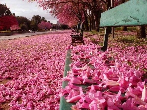 penuh berterbangan berguguran bunga sakura di atas jalan
