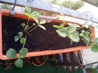 Apparition de 3 petits fraisiers sur un balcon citadin!