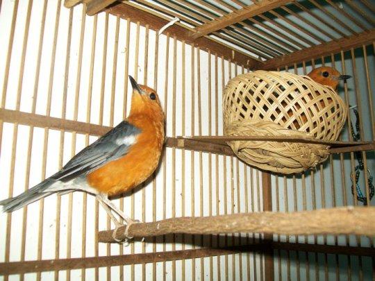 burung anis cara perawatan bakalan anis merah