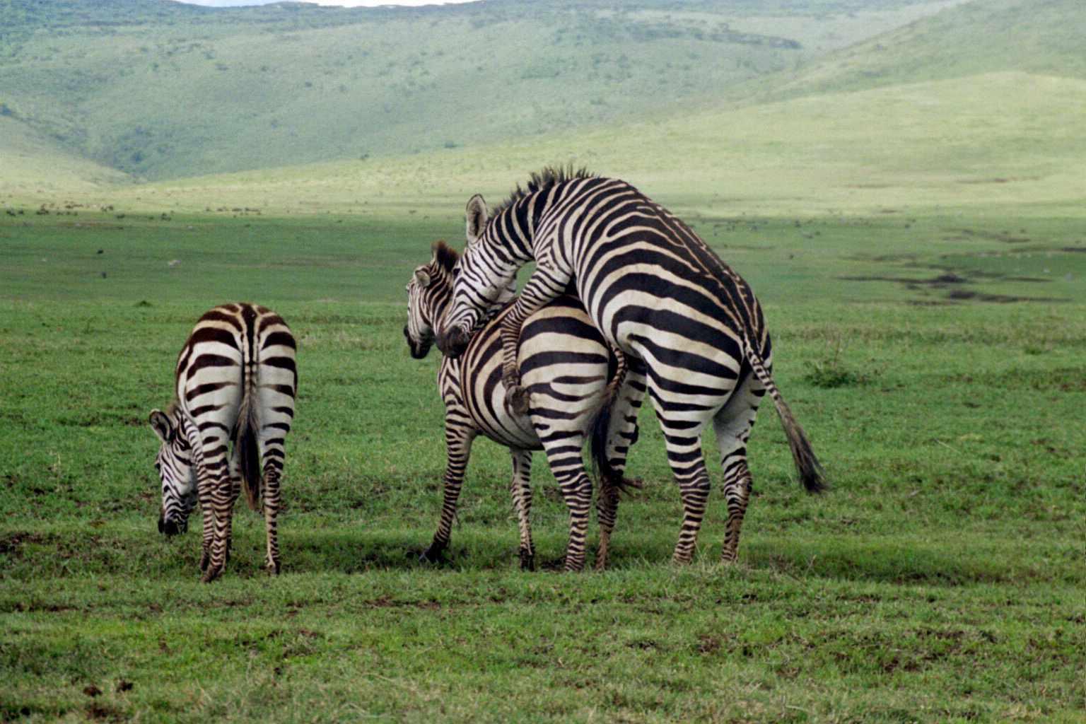 Zebras mating - photo#2