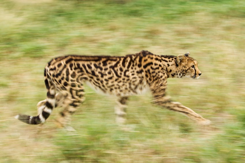 Guepardo o leopardo collares de mama