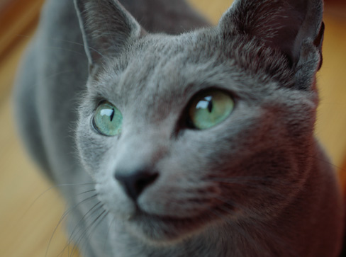The Charmed Life: Famous Gray Cats in History
