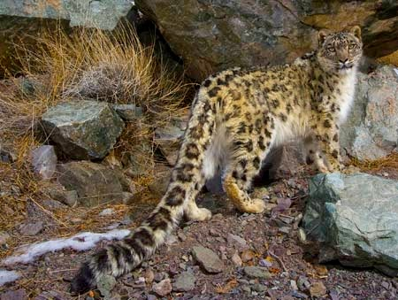das-leopardo-neves