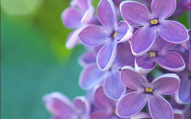 Imágenes de Flores de Lilas Violetas - Fotos de Flores Primaverales