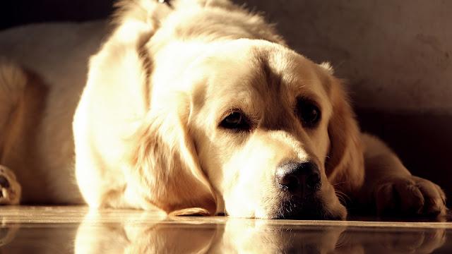 Golden Labrador HD Wallpaper
