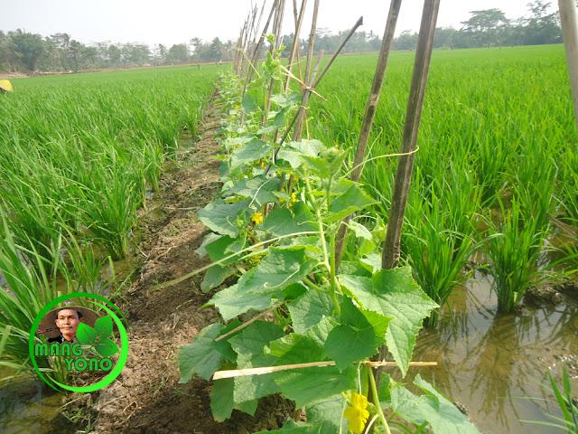 FOTO : Tanaman mentimun sudah berbunga.