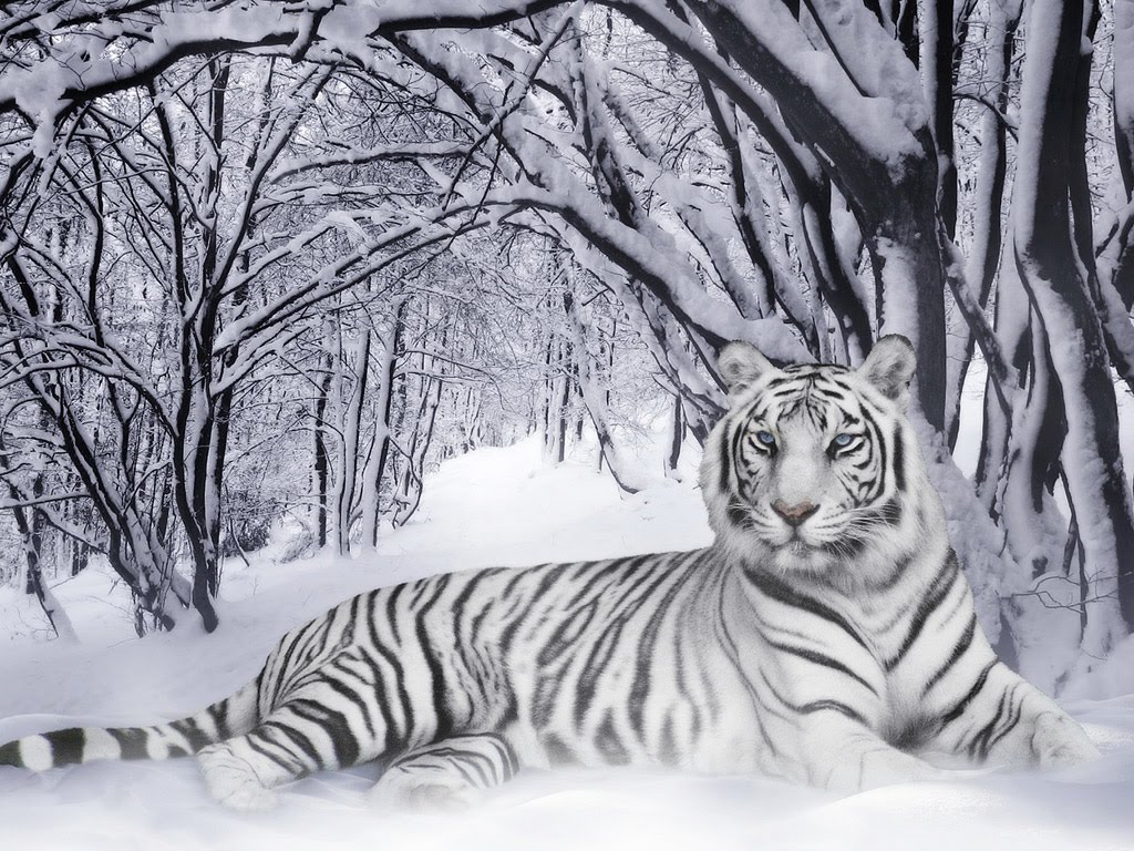 animals zoo park white tiger wallpapers for desktop free