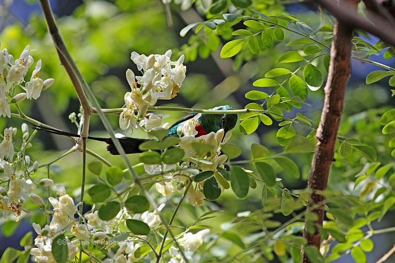 Beautiful Sunbird Cinnyris pulchella in the botanical garden of Bakau