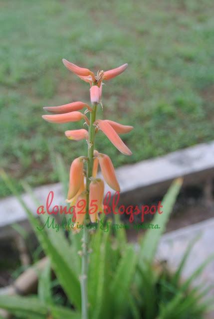 blog along25, along25, berkebun, gardening, aktiviti tabika, pokok aloe vera, lidah buaya, bunga aloe vara, bunga lidah buaya, percik minyak, carbon footprint
