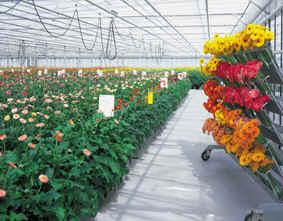 bunga garbera murah