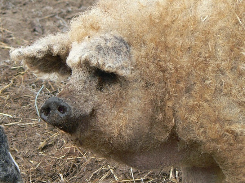 Babi yang Berbulu Domba