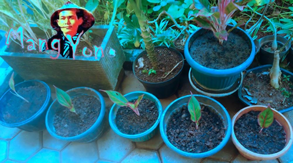 Dan ini Hasilnya kelima anakan bunga Donna Carmen sudah saya pisahkan dengan selamat