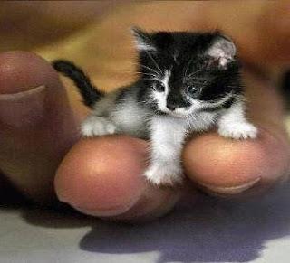 هرٌّ من نيويورك يذهل مئات الآلاف بقدرته على التركيز - قط - قطة - small cat