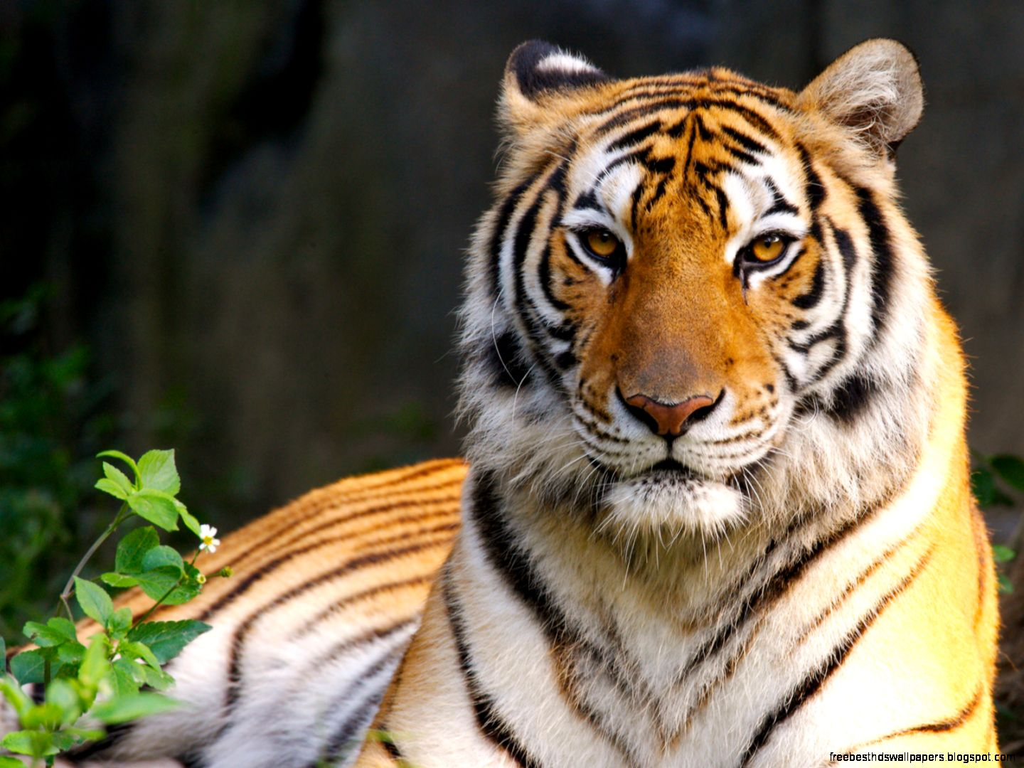 Download Tiger Wallpaper Free Best Hd Wallpapers