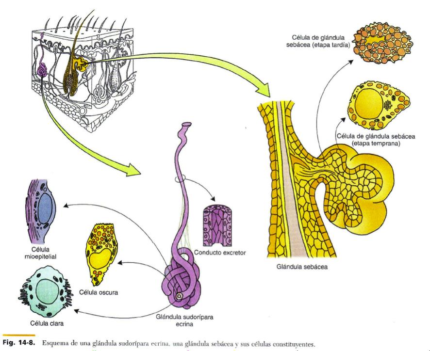 FCM-UNAH Anatomía Microscópica: Glándulas del Sistema Tegumentario