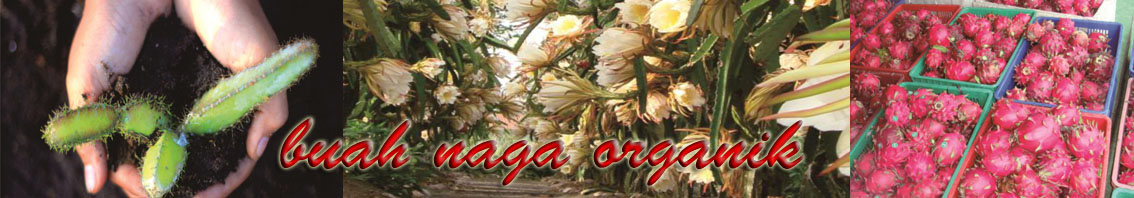 Dragon fruit - buah naga organik merah kualitas dan sertifikasi resmi organik